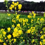 昭和村野尻の菜の花畑