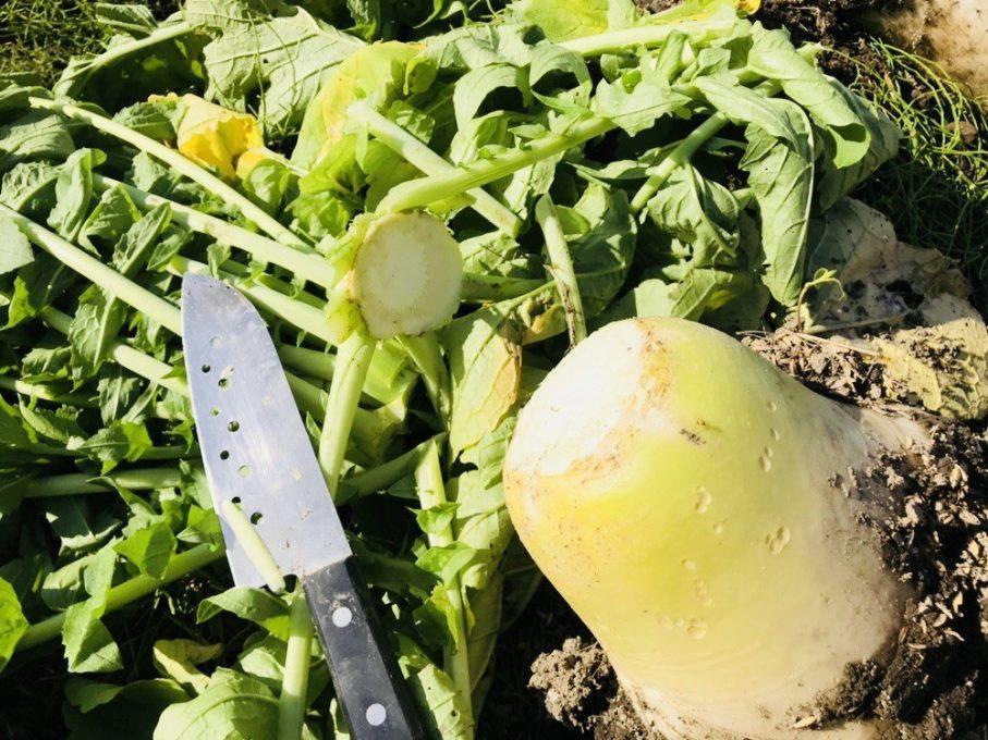 大根の収穫の方法