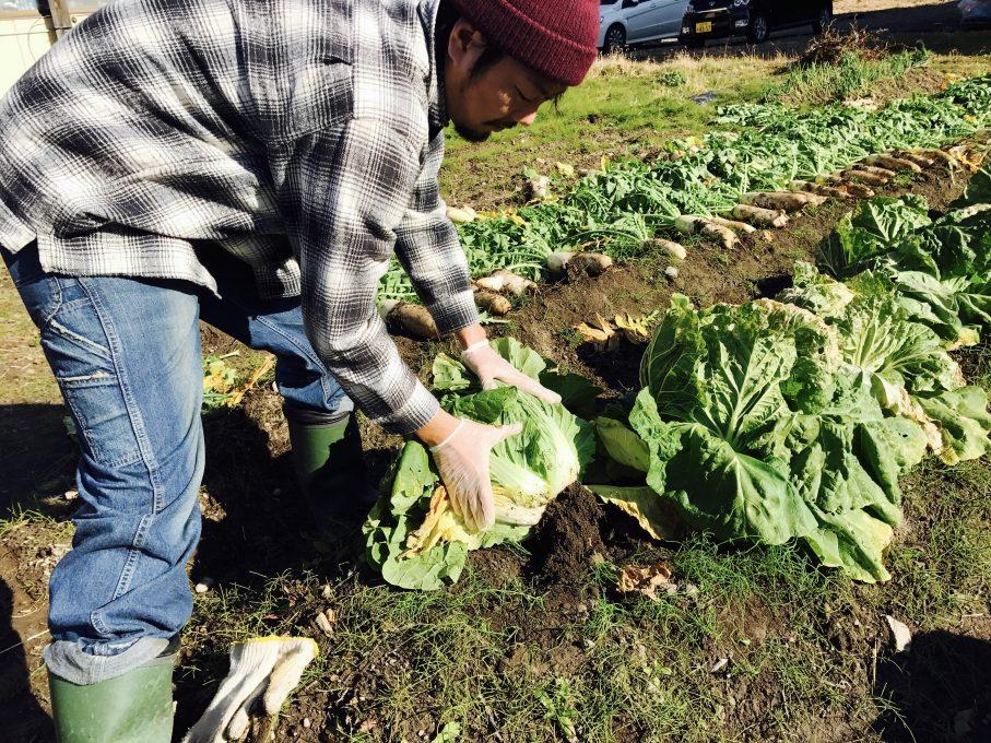 白菜の収穫の仕方