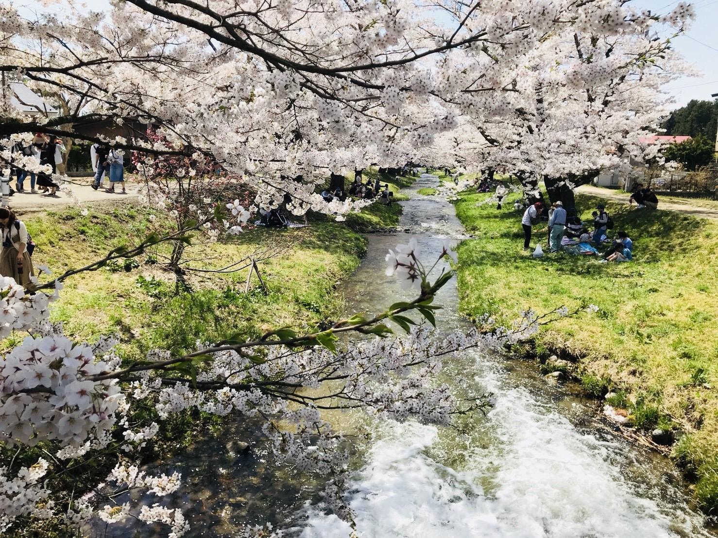 観音寺川の桜並木