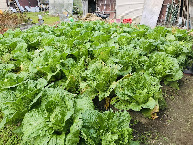 白菜の収穫 秋野菜