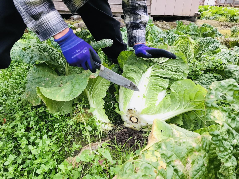 白菜の収穫 やり方