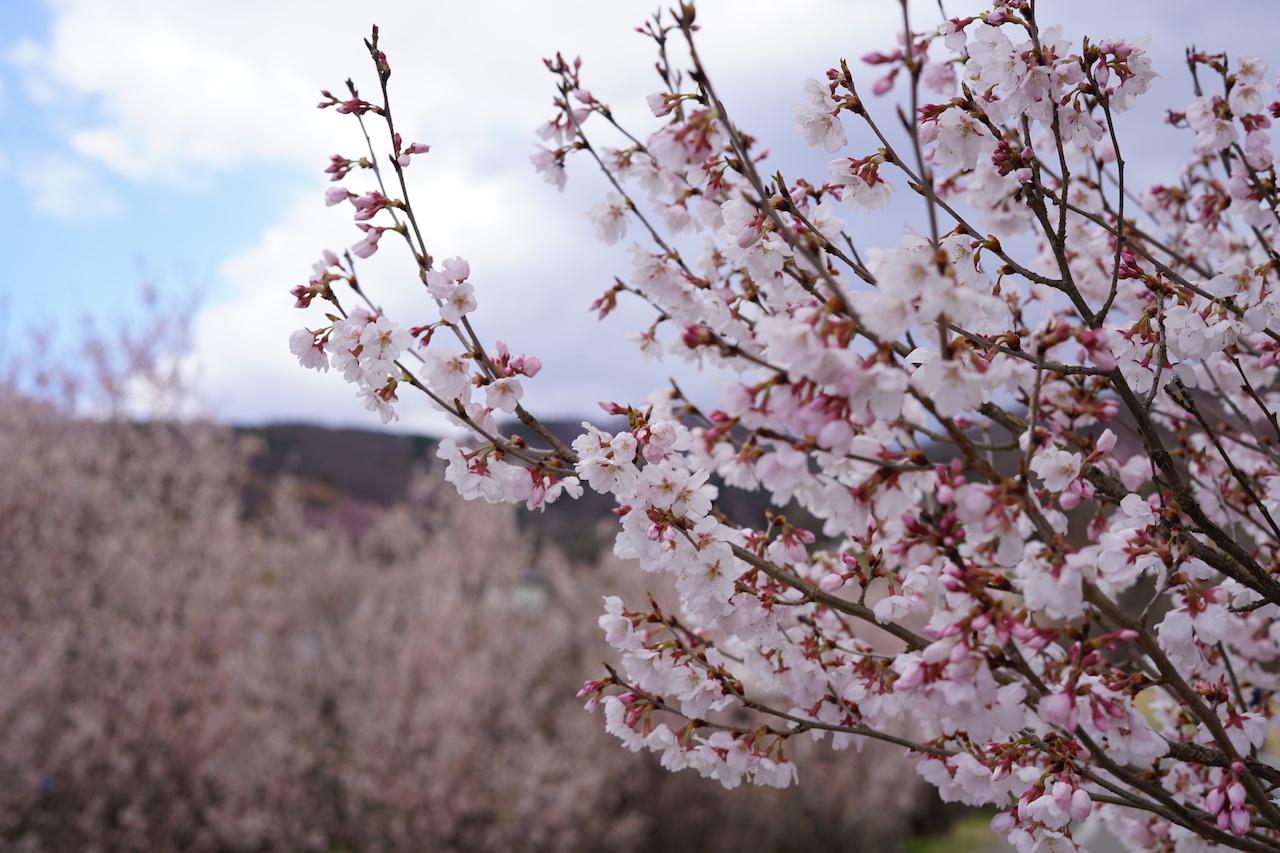 福島の花見山