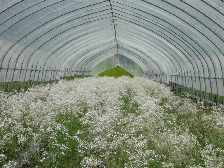 福島県昭和村のかすみ草