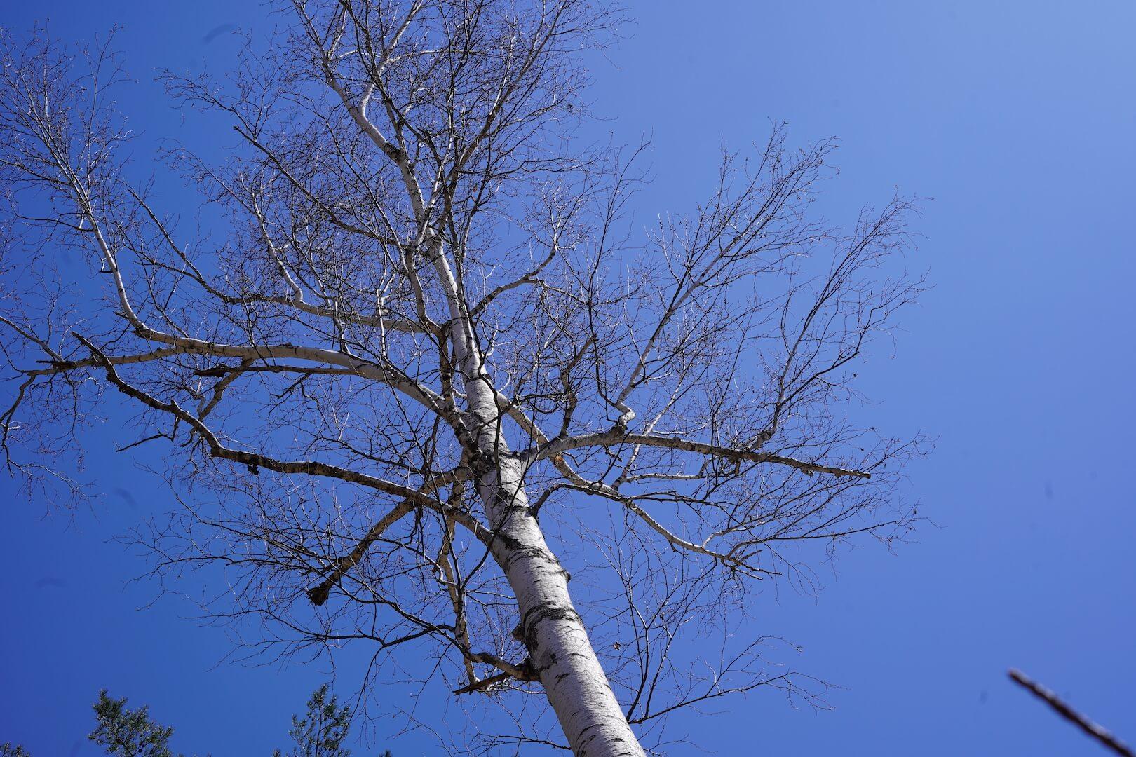 矢ノ原湿原の白樺の木