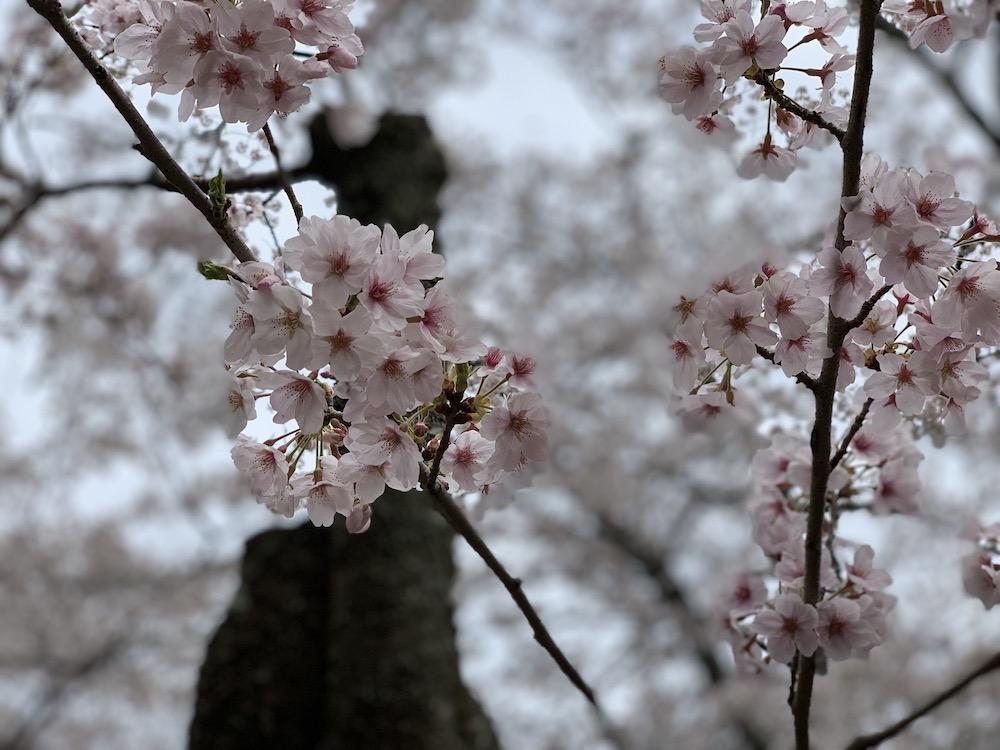 茨城県の桜情報