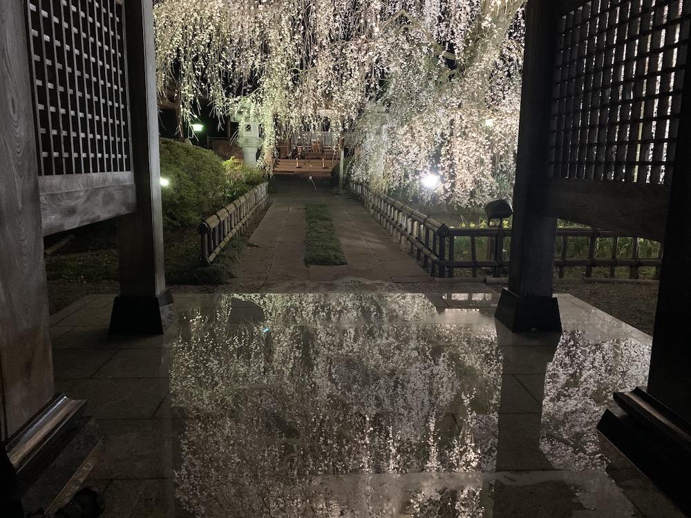 茨城県の安国寺の桜