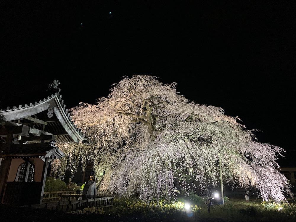 茨城県の桜スポット