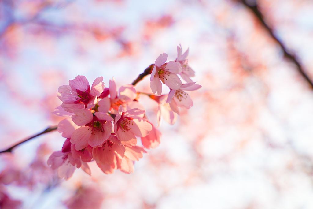 桜のポートレート