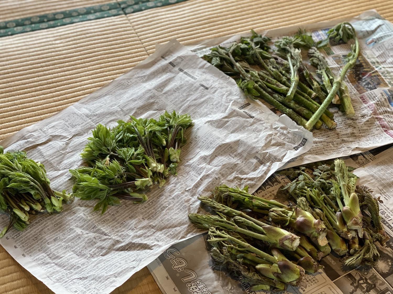 3種の山菜がどっさり!今年も山の恵みをいただきました!