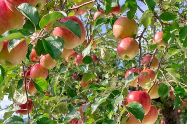 【9月〜12月】りんご狩り。